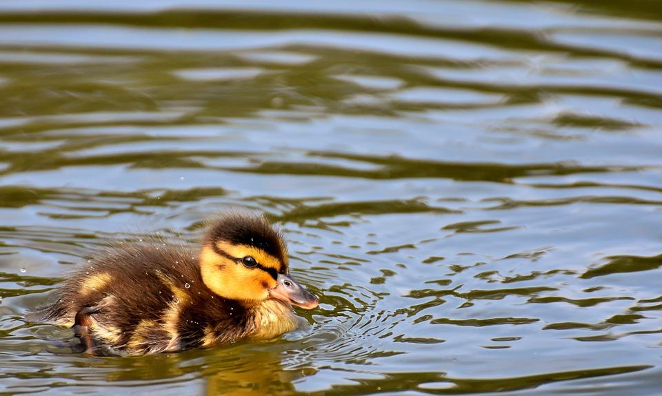 Mallard, Ducklings, Duck, Chicks, Cute, Small, Swim