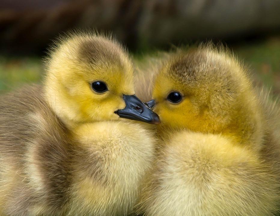 Ducklings, Pair, Birds, Beaks, Animals, Cute, Ducks