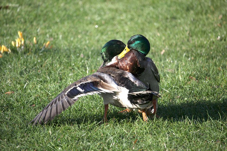 Ducks, Fight, Argue, Waterfowl, Spring, Park, Nature