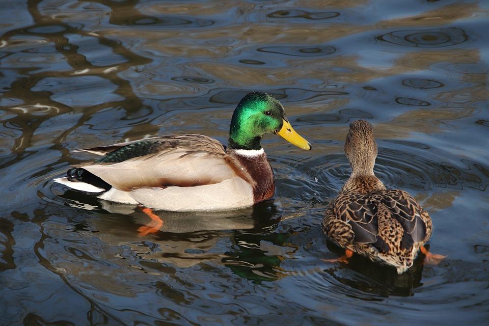 Ducks, Birds, Mallards, Lake, Waterfowls, Water Birds