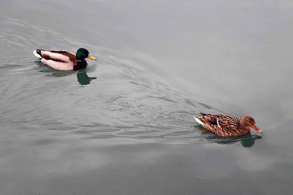 Ducks, Couple, Water Bird, Water, Pair, Nature