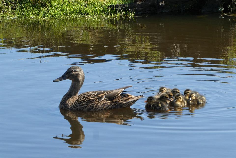 Ducks, Ducklings, Bread, Mother Duck, Family