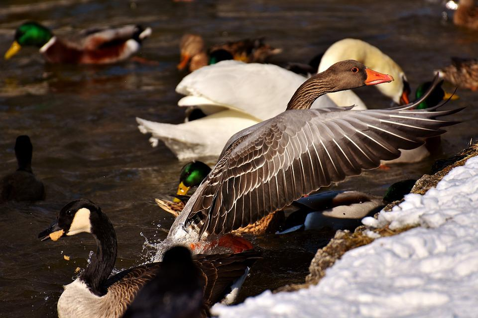 Goose, Fly, Flight, Ducks, Swans, Birds, Water Bird