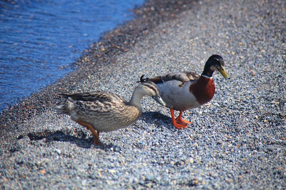 Mandarin, Ducks, Lake