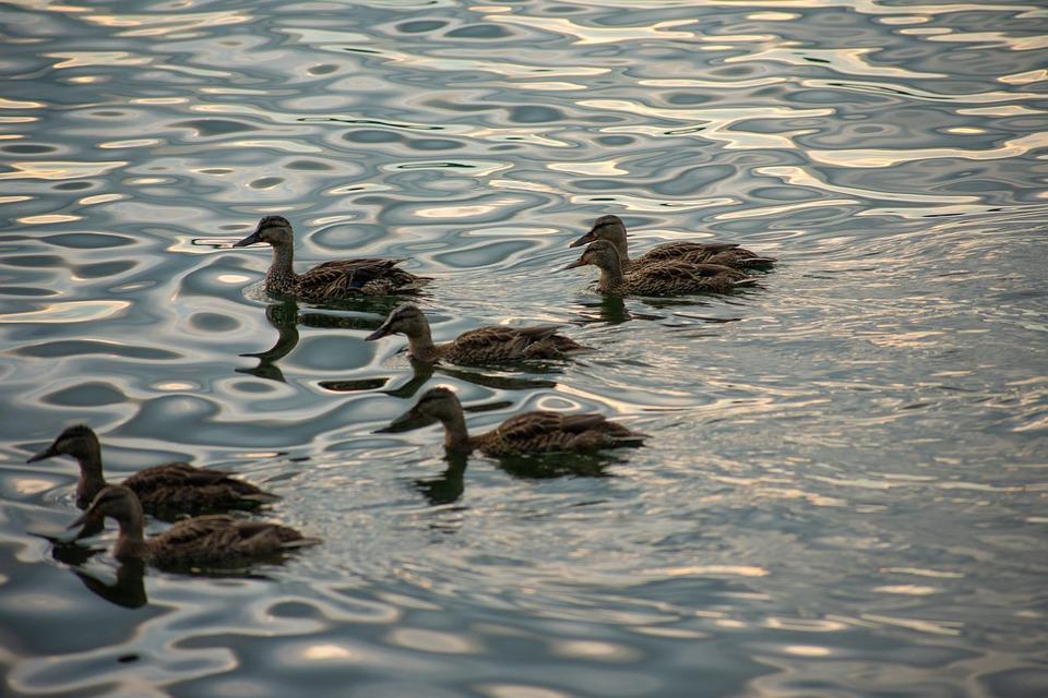 Ducks, Lake Erie, Erie, Water, Bird, Animal, Nature
