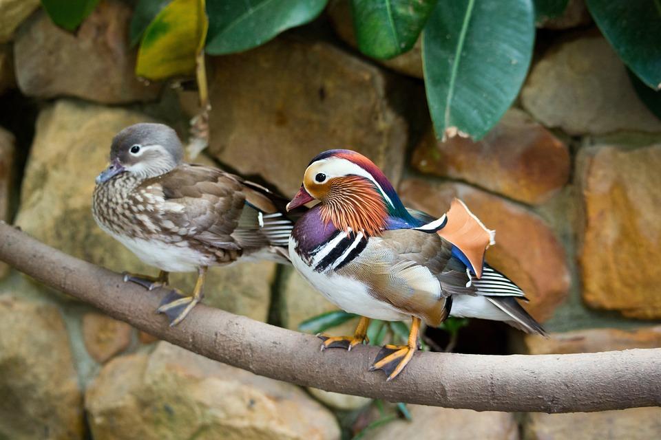 Mandarin Ducks, Ducks, Pair, Colourful, Vibrant