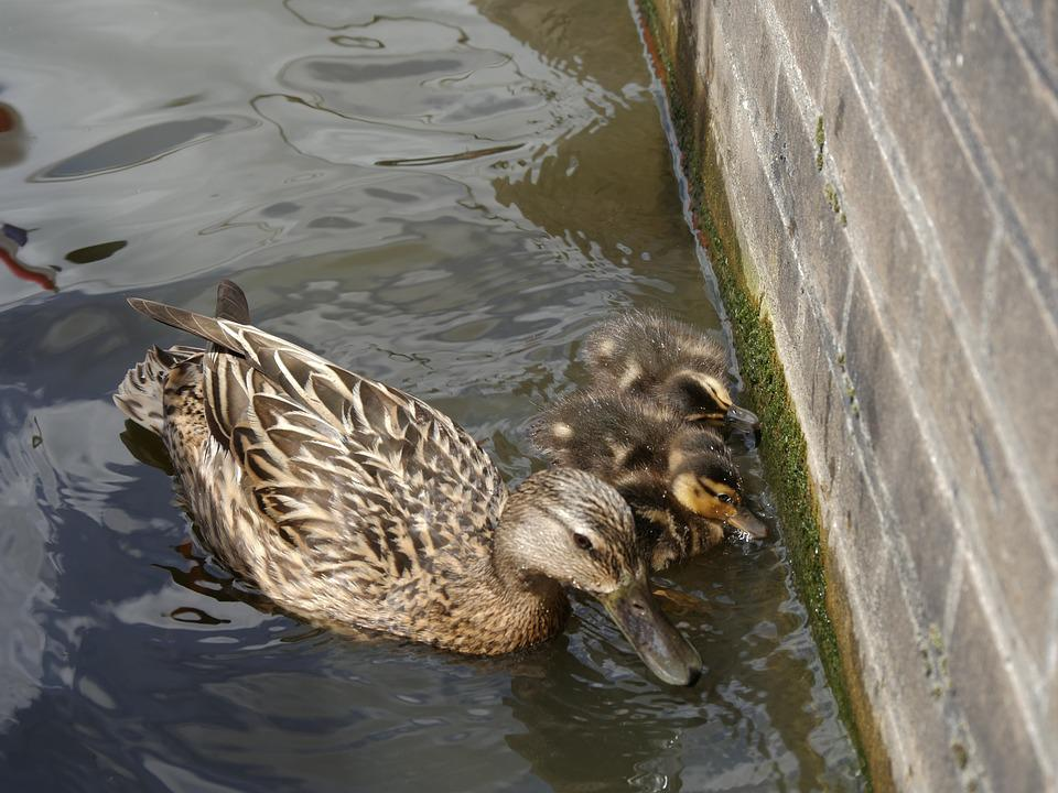 Ducks, Mother, Wildlife Photography, Young, Water