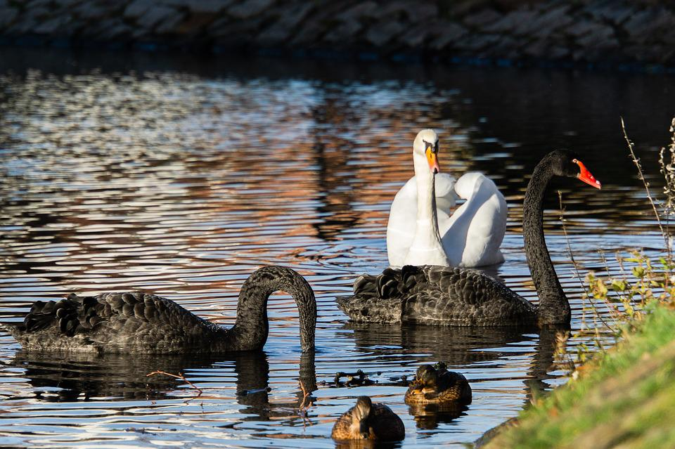 Swans, Black, White, Waterfowl, Ducks, Lake, Plumage