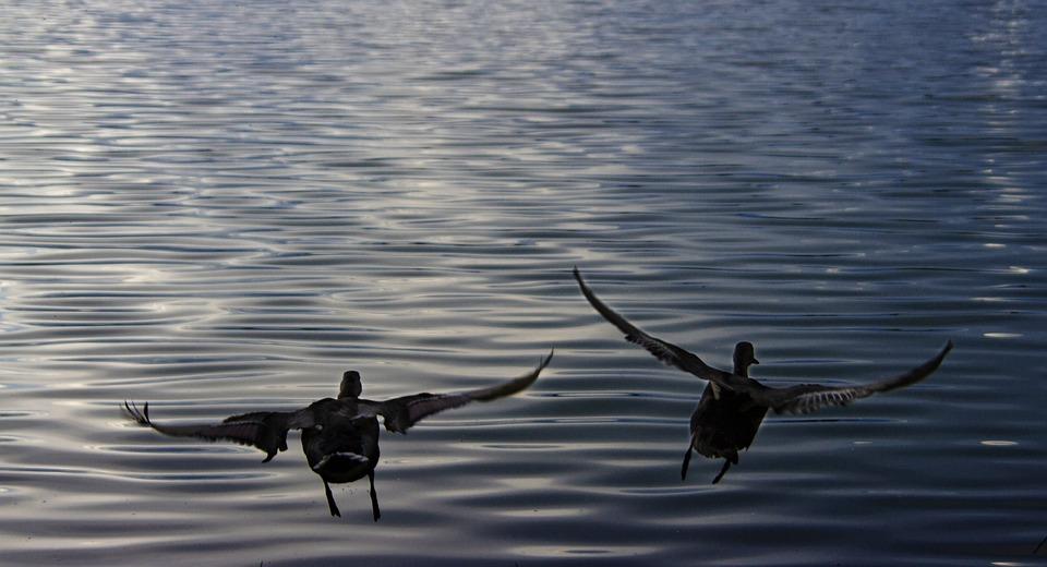 Ducks, Duck, Bird, Fly, Flying, Wings, Sea, Lake