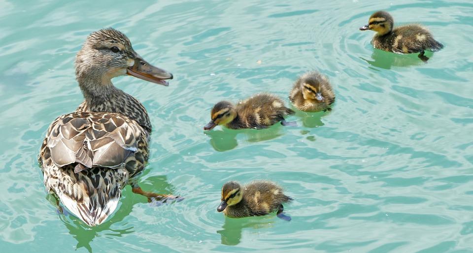 Water, Ducks, Mallard, Mother, Ducky, Light, Sun