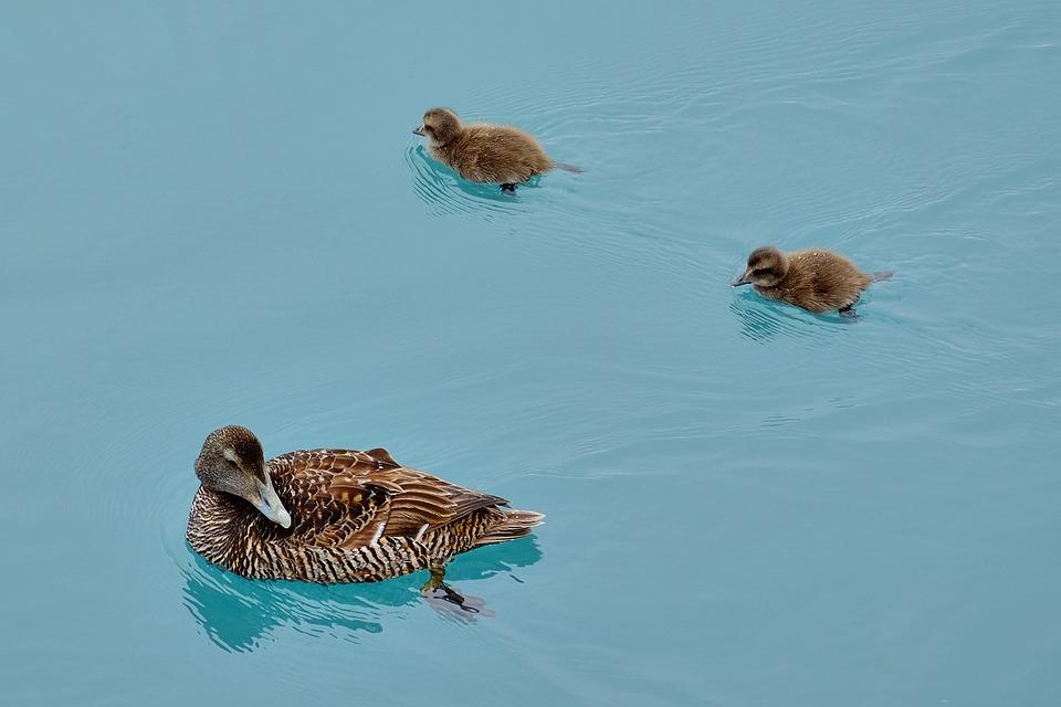 Duck, Chicks, Small, Cute, Waterfowl, Ducky, Young Bird