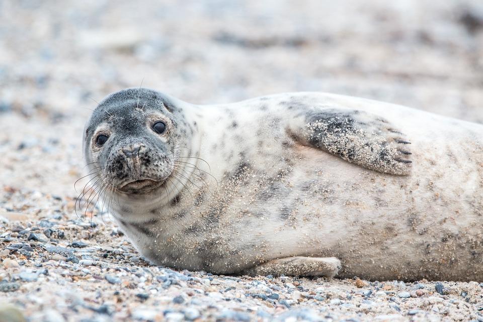 Grey Seal, Helgoland, Dune, Sand, Beach, Nature, Animal
