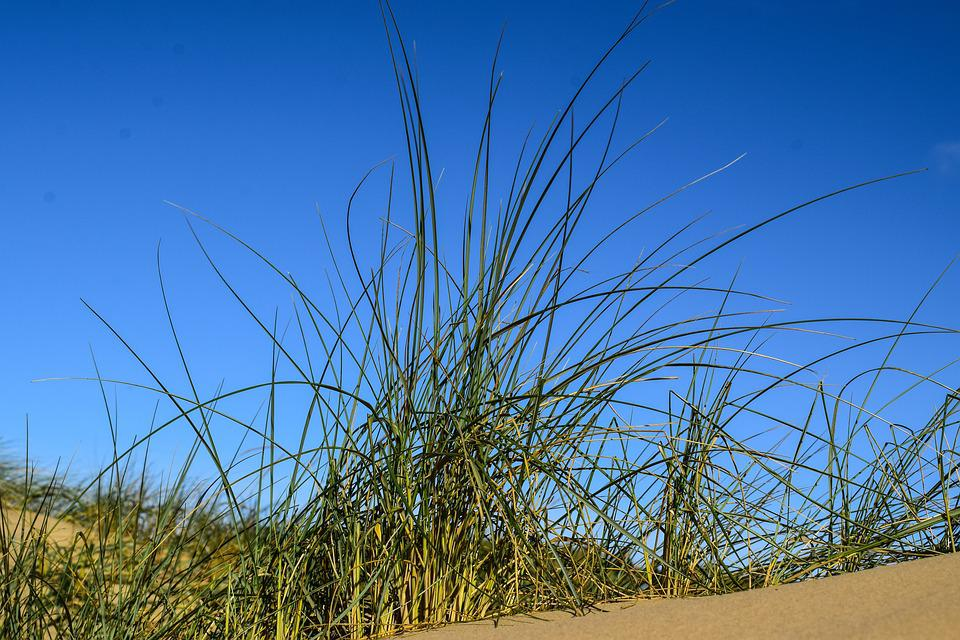 Dune Grass, Blue Sky, Contrasts Of The Nature, Grasses