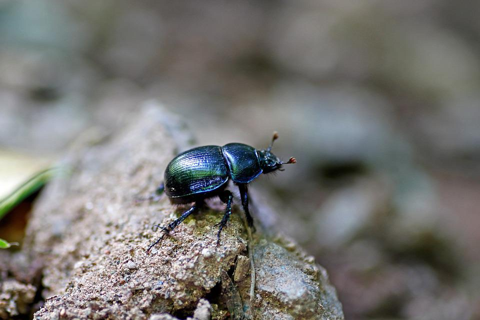 Dung Beetle, Beetle, Insect, Black, Nature, Close Up