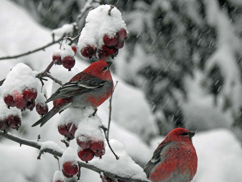 Durbec Des Sapins, Birds, Red, Grey, Winter, Snow