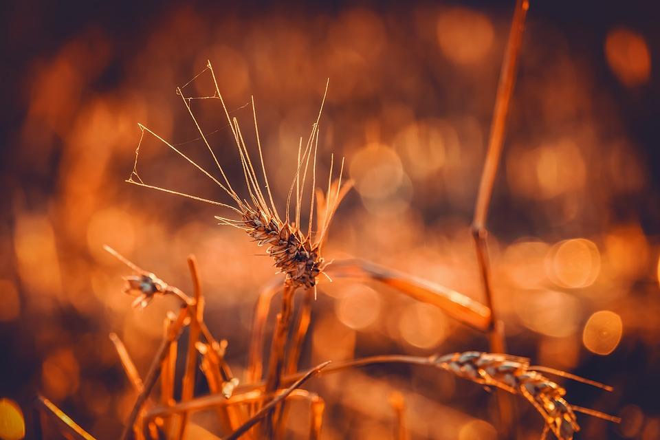 Wheat, Durum Wheat, Triticum Durum, Grain, Ear, Bright
