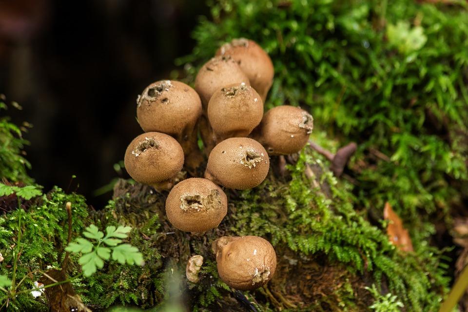 Dust Mushrooms, Mushrooms, Moss, Forest, Close, Brown