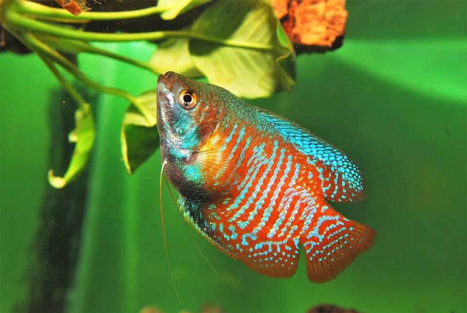 Fish, Dwarf Gourami, Aquarium, Exotic, Colisa Lalia