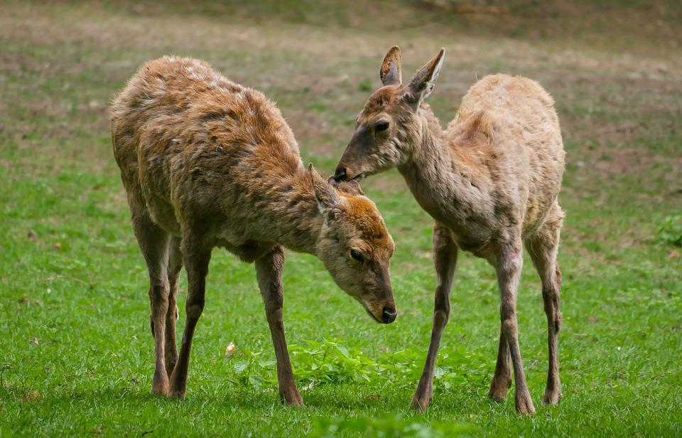 Animal, Hirsch, Fallow Deer, Dybowski Deer