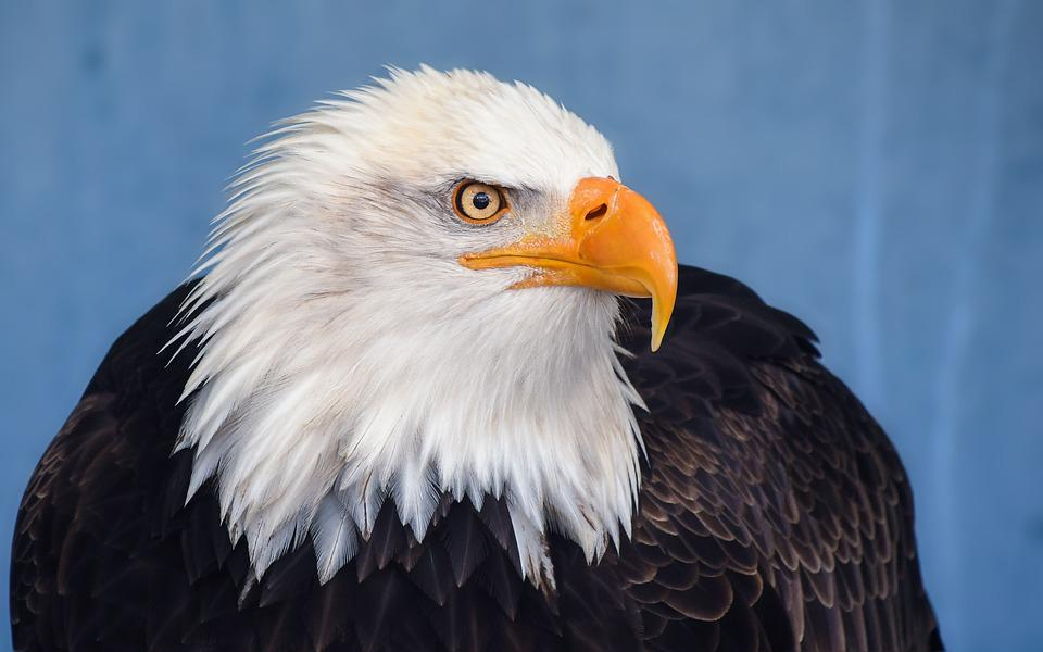 Bald Eagle, Eagle, Raptor, Bird, Animal