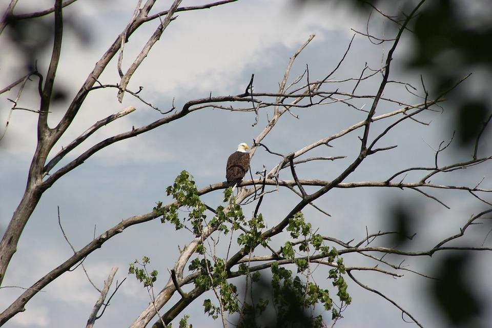Bald Eagle, Bird, Eagle, Nature, Wild, Wildlife, Animal