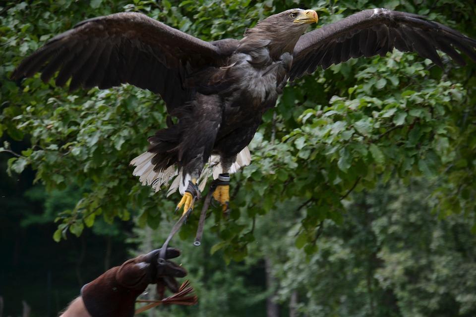Eagle, Flight, Predator, Bird, Training