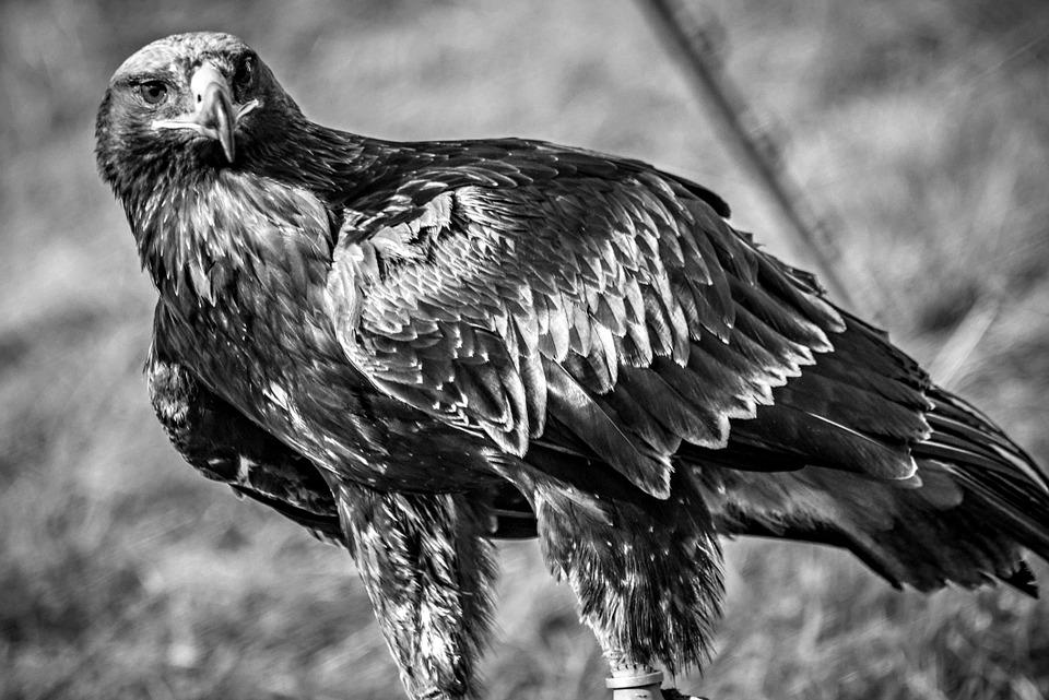 Eagle, Black And White, Bird, Animal, Nature, Wildlife