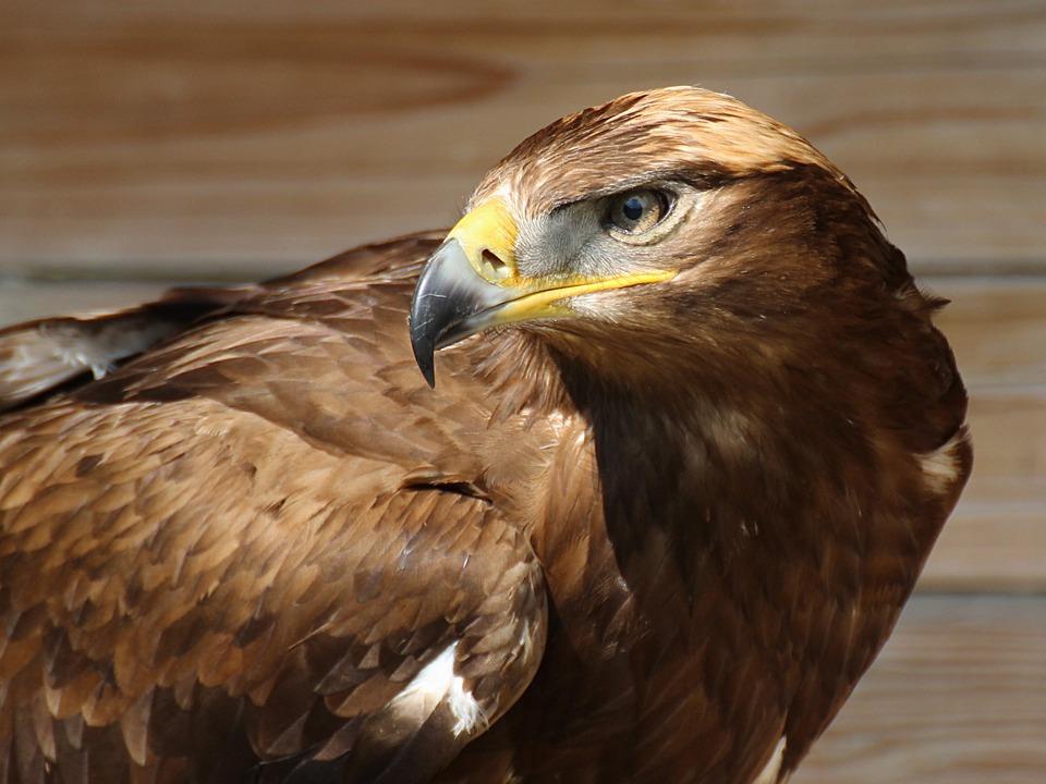 Birds, Eagle, Predator, Beak, Wild, Nature, Closeup