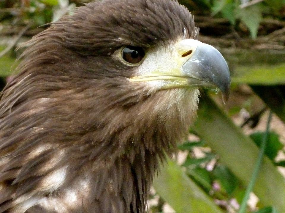 Eagle, Eye, Beak, Bird, Nature, Wildlife, Feather, Head