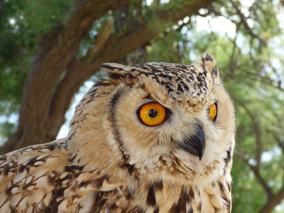 Eagle, Owl, Wildlife, Nature, Eye, Staring