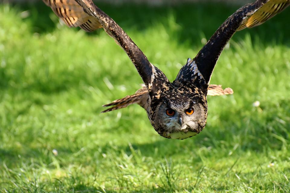 Owl, Bird, Feather, Eagle Owl, Animals, Wild Bird, Head