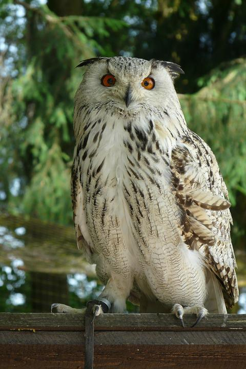 Eagle Owl, Owl, Bird