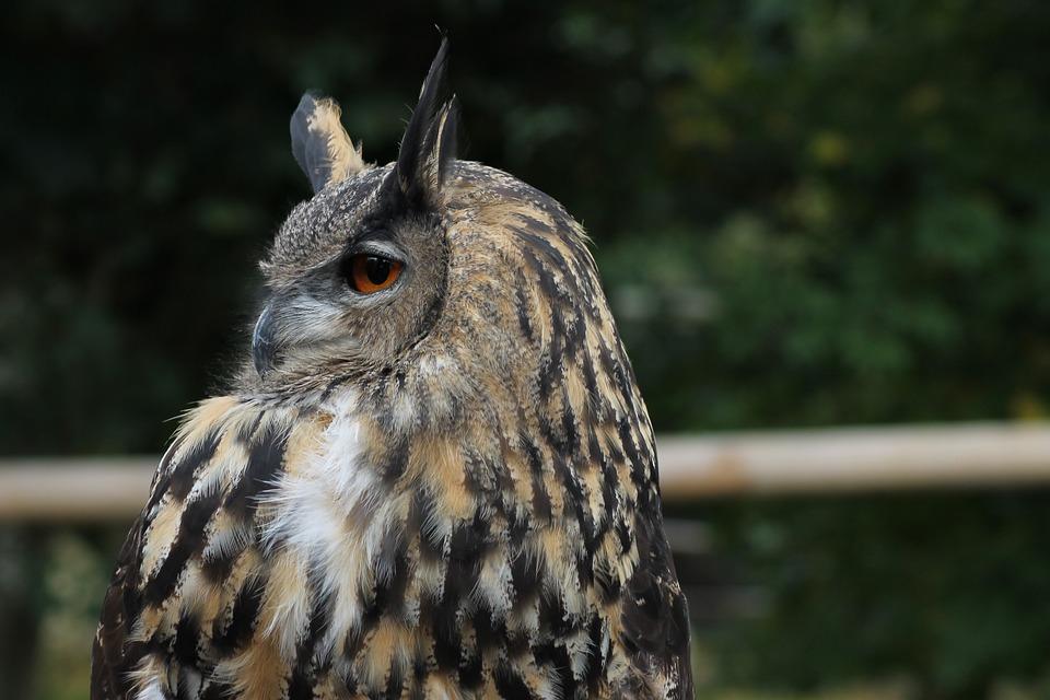 Eagle Owl, European, Bird, Owl, Raptor, Eyes, Falconry