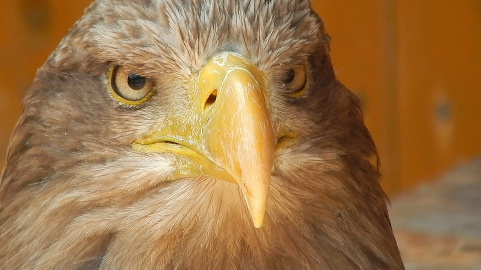 Eagle, Predator, Beak, Bird