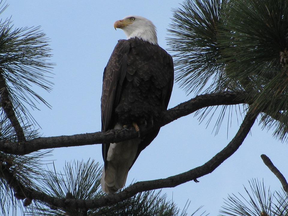 Bald Eagle, Tahoe, Eagle