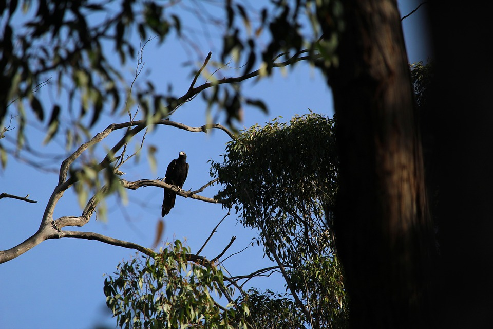 Eagle, Wedge, Tail, Wedgetail, Perched, Perch, Tree