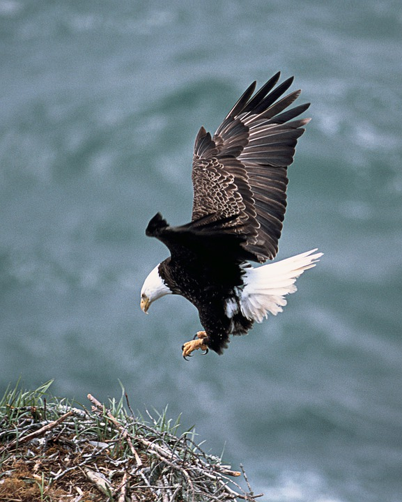 Compare Prices on Bald Eagle Birds- Online Shopping/Buy Low Price ...
