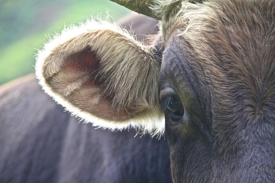 Cow, Andes, Back Light, Hair, Detail, Beef, Ear