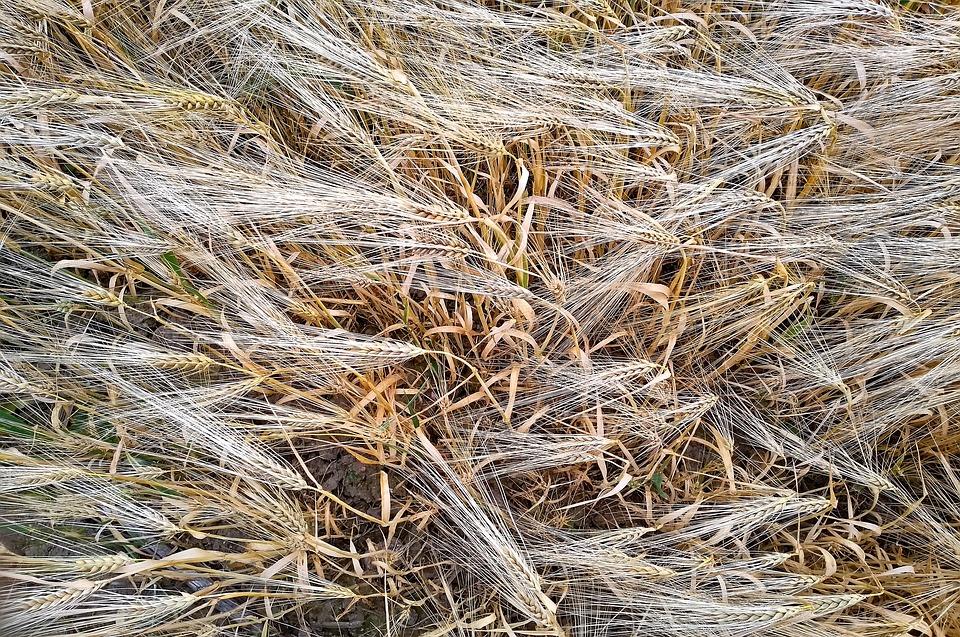 Barley, Barley Field, Cereals, Field, Cornfield, Ear