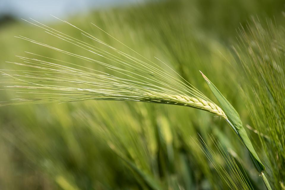 Barley, Cereals, Agriculture, Grain, Plant, Nature, Ear
