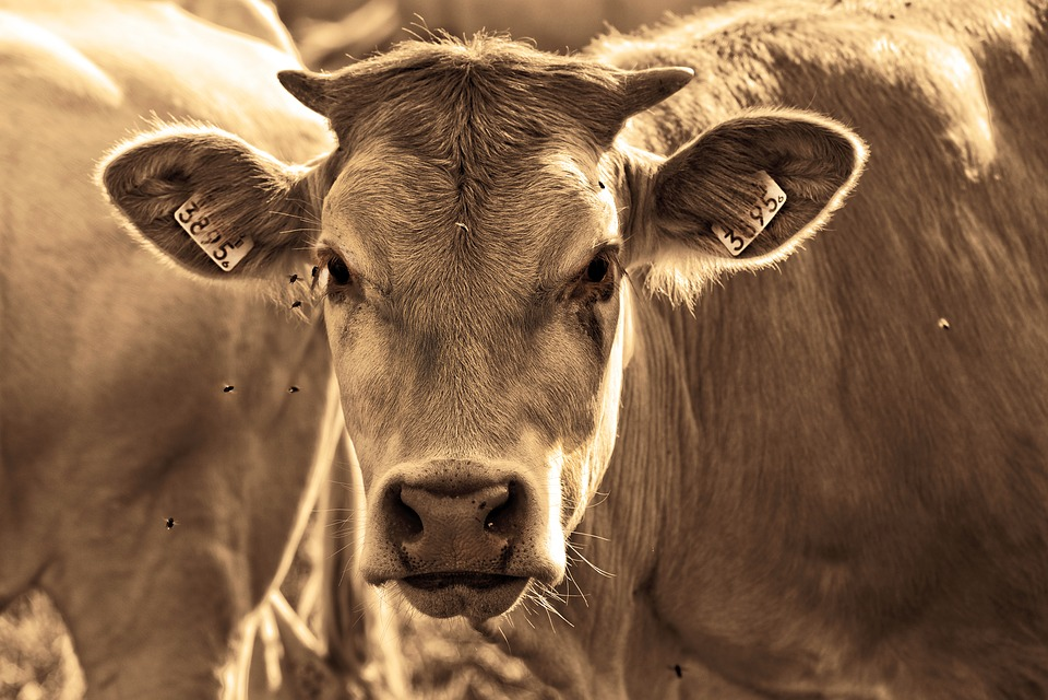 Cow, Animal, Mammal, Bovine, Horns, Ear Tags, Standing