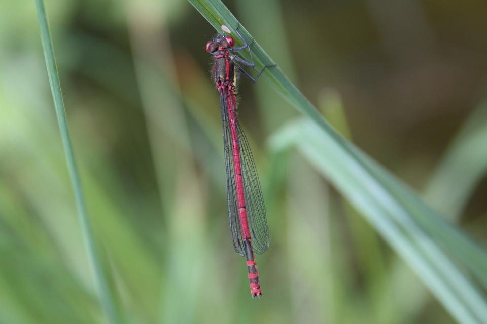 Pyrrhosoma Nymphula, Early Adonis Dragonfly