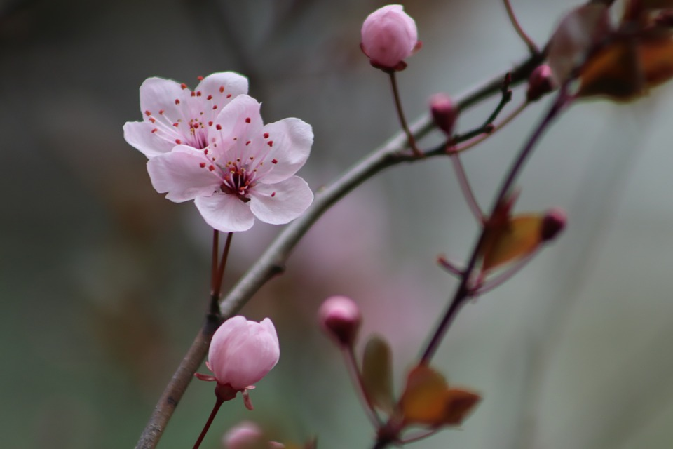 Pink, Early Bloomer, Plum Blossom, Flowers, Bud