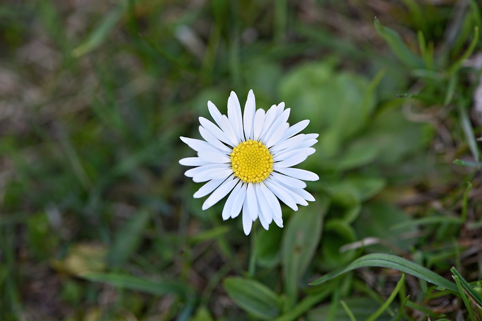 Daisy, Flower, White, Pointed Flower, Early Bloomer