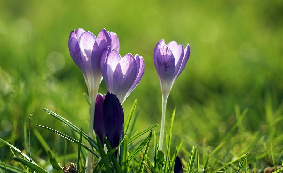 Crocus, Purple, Spring, Spring Flower, Early Bloomer