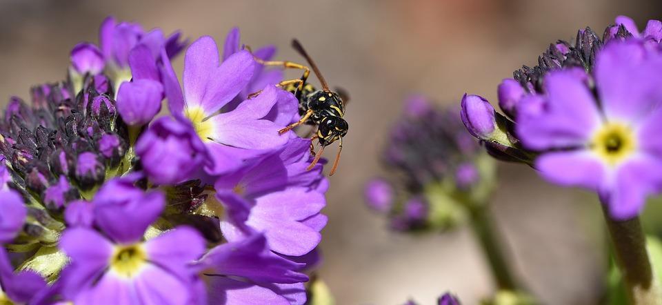 Primrose, Flower, Spring Flower, Early Bloomer, Purple