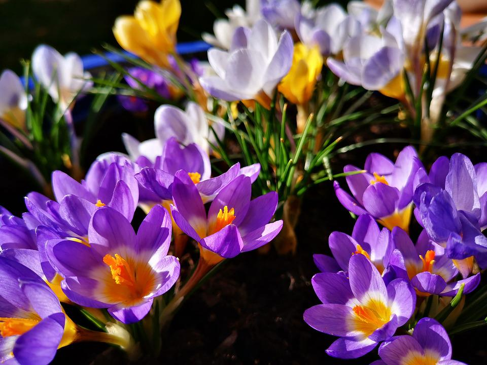 Crocus, Spring, Early Bloomer, The End Of Winter