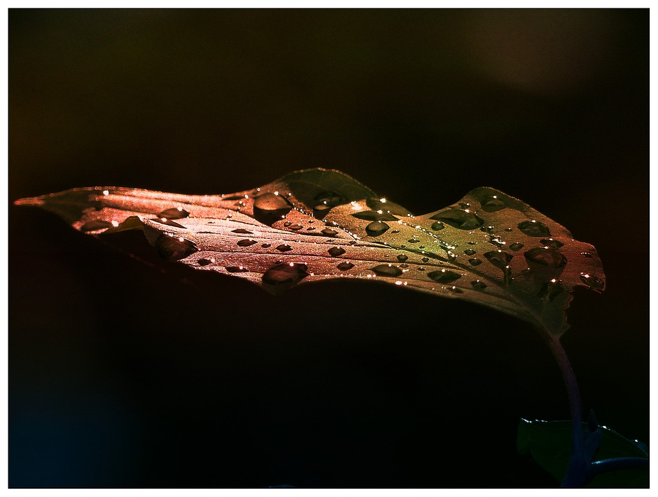 Leaf, Early Morning, After Rain, Morning Glory