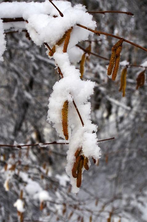 Hazel, Snow, Early Spring, Winter, Buried