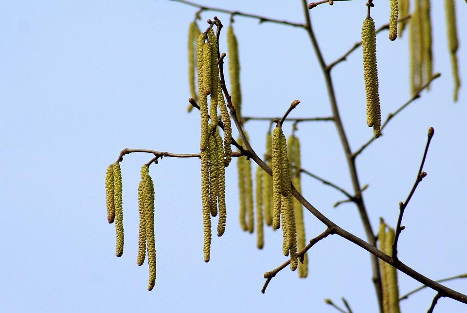 Hazel, Tree, Spring, Early Spring, The Basis Of, Season